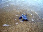 Baby Hatchling Sea Turtle